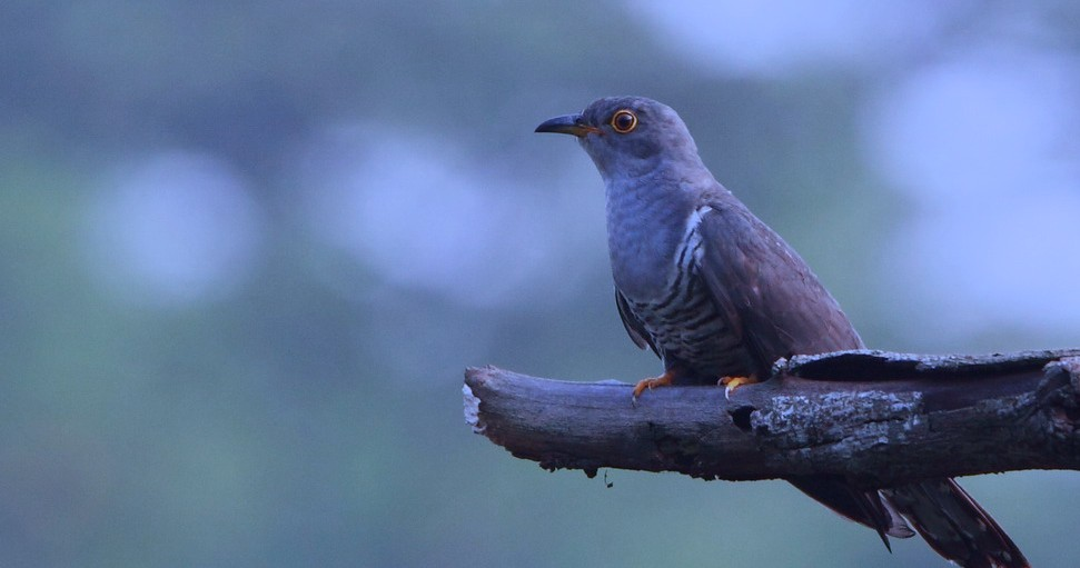 Introducing the returning cuckoo returning cuckoo for Portent what does it mean